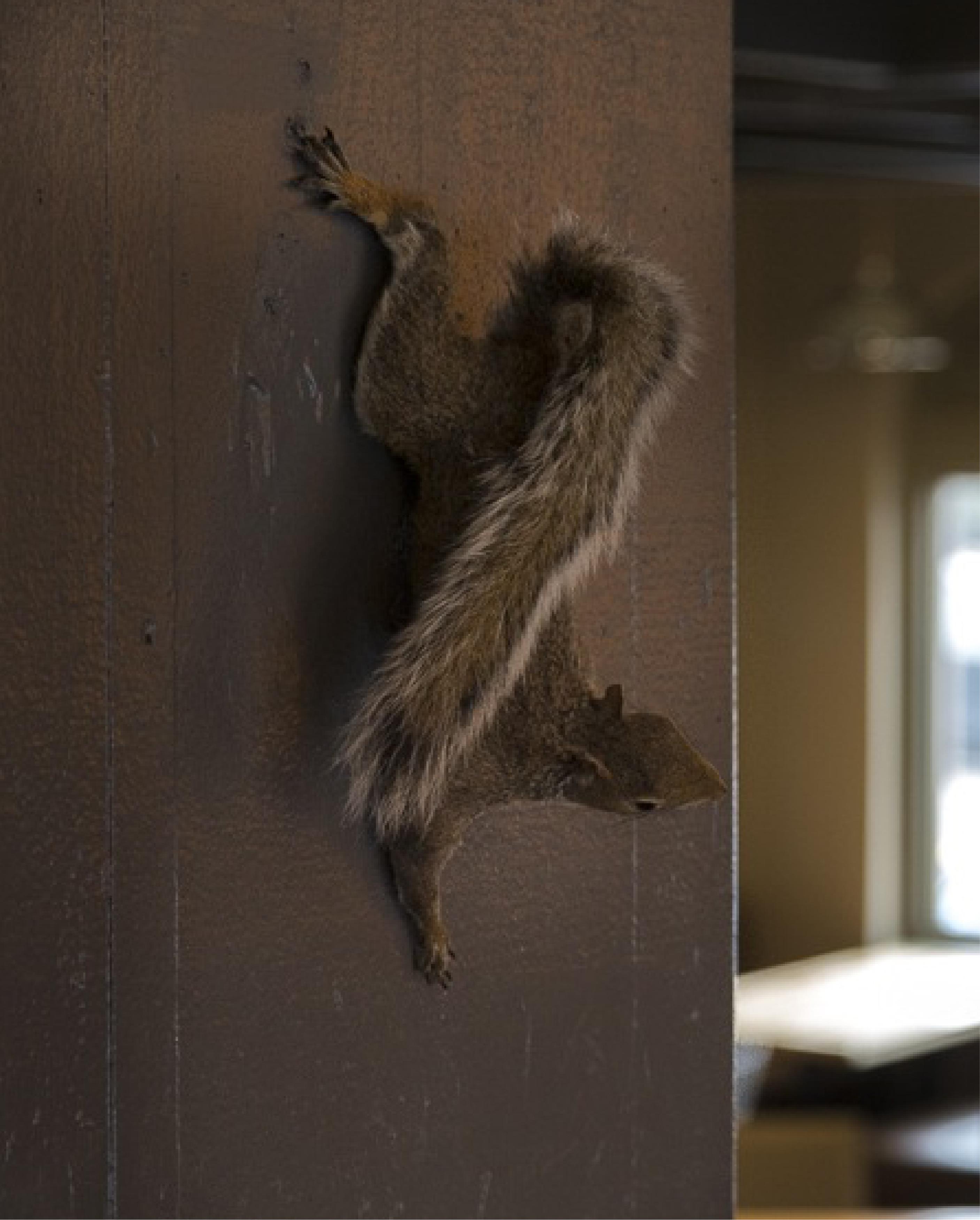 Common Pub Squirrel
